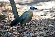 Giant coua, Coua gigas on the ground, Zombitse Park, Madagascar, endemic to the dry forests of western and southern Madagascar, Least Concern on the IUCN Red List