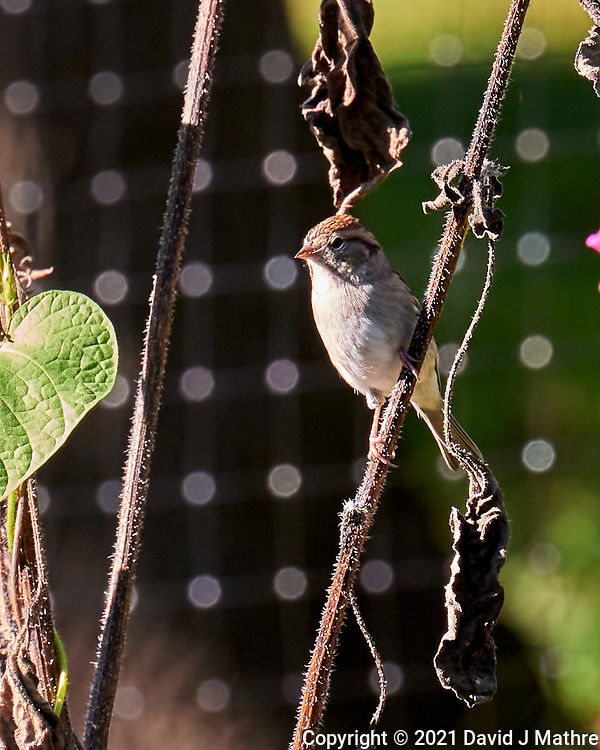 Chipping Sparrow. Image taken with a Leica SL2  camera and 24-90 mm lens.