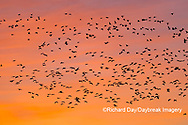 00754-02510 Snow Geese (Chen caerulescens) in flight at sunrise Marion Co. IL