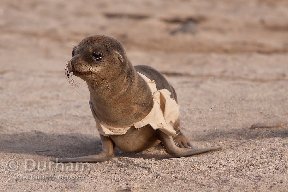 A young california sea lion (Zalophus californianus) with garbage wrapped around its body. Potentially lethal if not removed. North Seymour Island, Galapagos Archipelago - Ecuador.