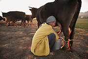 Woman milking her cows in the evening  on the jailoo (summer pasture) east of lake Song Köl, Kyrgyzstan