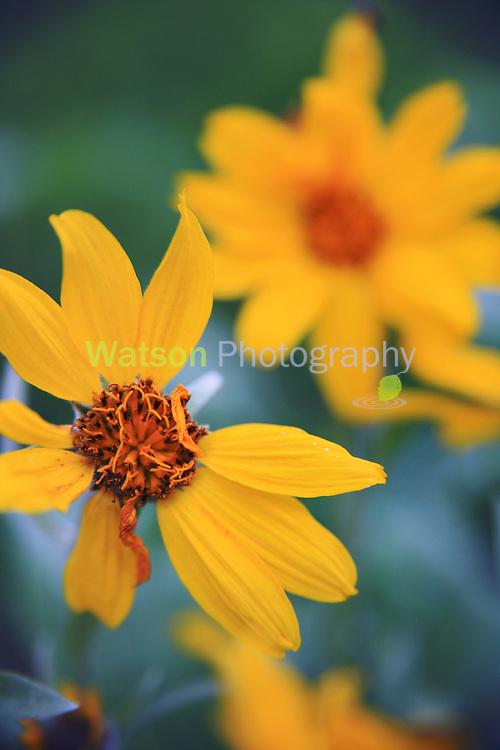 Balsam Root Summer Beauties