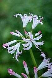 Nerine bowdenii 'Lipstick'