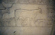 Cow being milked. Her calf is tethered to her leg. Calf behind her belongs to another cow. Detail from Middle Kingdom (c2040-1786 BC) sarcophagus