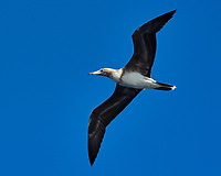 Brown Booby (white belly). Viewed from the deck of the MV World Odyssey. Image taken with a Nikon 1 V3 camera and 70-300 mm VR lens (ISO 160, 99 mm, f/7.1, 1/1000 sec).
