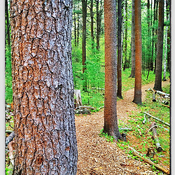 """Trail in piney woods, Urban Forestry Center, Portsmouth, New Hampshire. iPhone photo - suitable for print reproduction up to 8"""" x 12""""."""