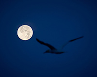 Northern Gannet and the Moon at Dawn. Image taken with a Nikon D800 camera and 70-300 mm VR lens (ISO 400, 220 mm, f/8, 1/250 sec).