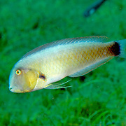 Rosy Razorfish inhabit sandy areas often adjacent sea grass beds in Tropical West Atlantic; picture taken St. Lucia.