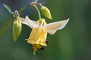 Yellow Columbine in bloom in Yellowstone National Park Yellow Columbine in bloom in Yellowstone National Park