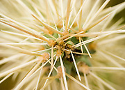 From close up, cholla cactus spines take on an abstract quality in Organ Pipe Cactus National Monument, AZ.