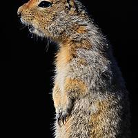 Arctic ground squirrel (Spermophilus parryii) alarm calling, Eielson Visitor Center, Denali National Park, Alaska