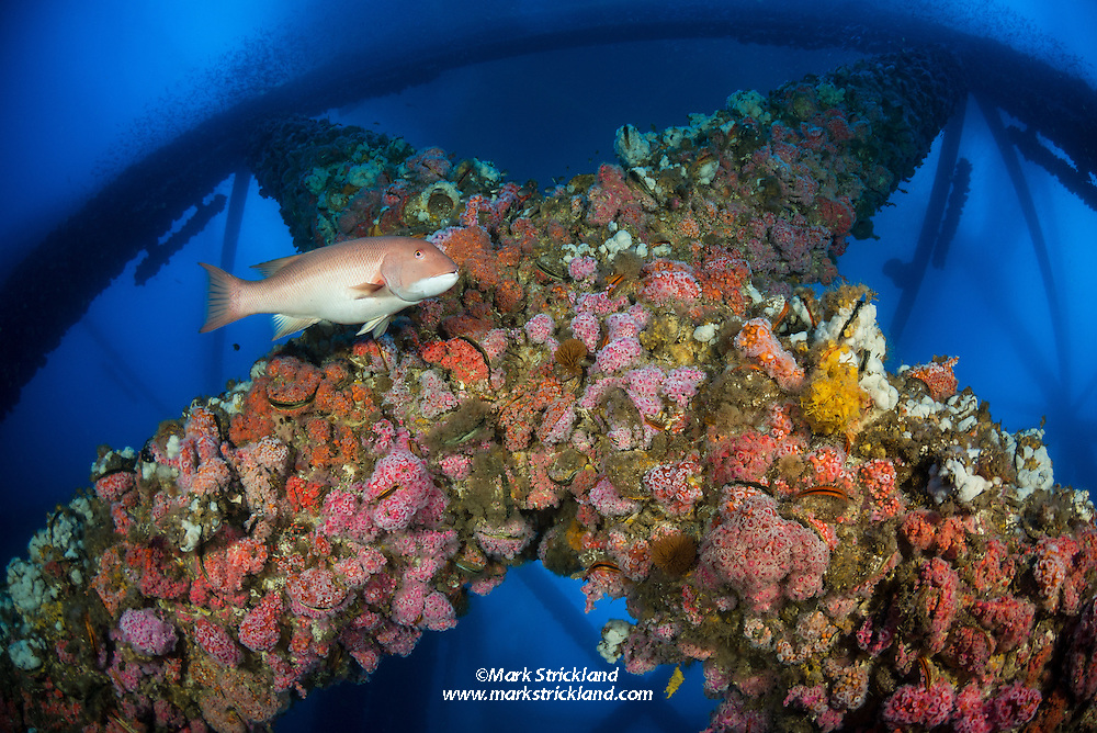 A young California Sheephead, Semicossyphus pulcher, swims amidst structure of the Eurika oil rig, which is encrusted with colorful anemones and sponges. Long Beach, California, USA, Pacific Ocean