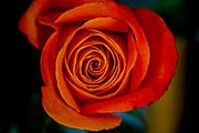 Blooming perfect orange Garden Rose