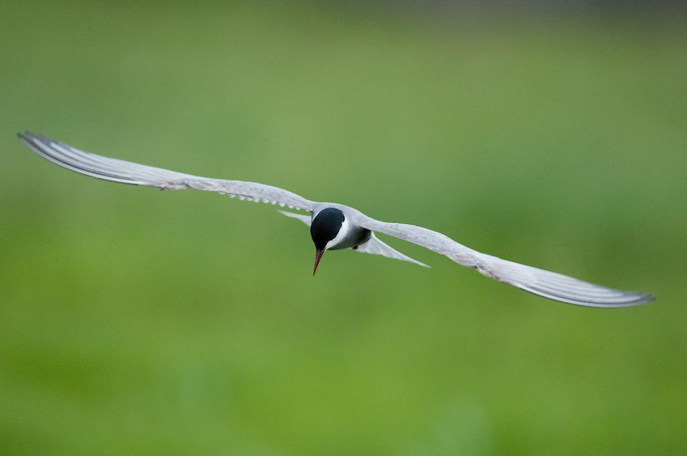 Whiskered Tern (Chlidonias Hybridus) in flight at Prypiat River, Belarus