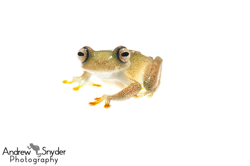 La Escalera Tree frog, Hypsiboas sibleszi, Chenapau, Guyana, March 2014