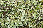 Lichen on stone wall, Sierra de Andujar Natural Park, Sierra Morena, Andalucia, Spain, indicator for clean air, no pollution