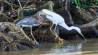 Tricolored Heron and Snowy Egret. Semester at Sea Field Trip. Limon, Costa Rica. Image taken with a Nikon D3s camera and 70-300 mm VR lens