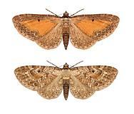 70.187 (1838)<br /> Tawny Speckled Pug - Eupithecia icterata