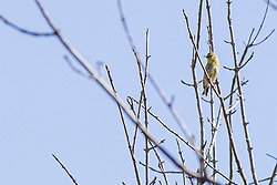 American Goldfinch (Spinus tristis) a member of the passerine family