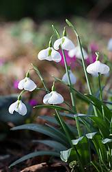 Galanthus plicatus 'Diggory'. Snowdrop.