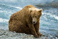 Alaskan brown bear sitting next to McNeil River, McNeil River State Game Sanctuary, Alaska, © David A. Ponton