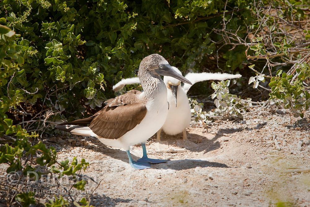 A blue-footed booby (Sula nebouxii) raising a juvenile in a ground nest on Espanola Island, Galapagos Archipelago - Ecuador.