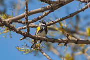 Myrtle Warbler (Yellow-rumped) Setophaga coronata in black ash tree<br />Winnipeg<br />Manitoba<br />Canada