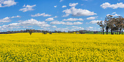 Canola field under blue sky and cumulus clouds near Illabo, New South Wales, Australia <br />