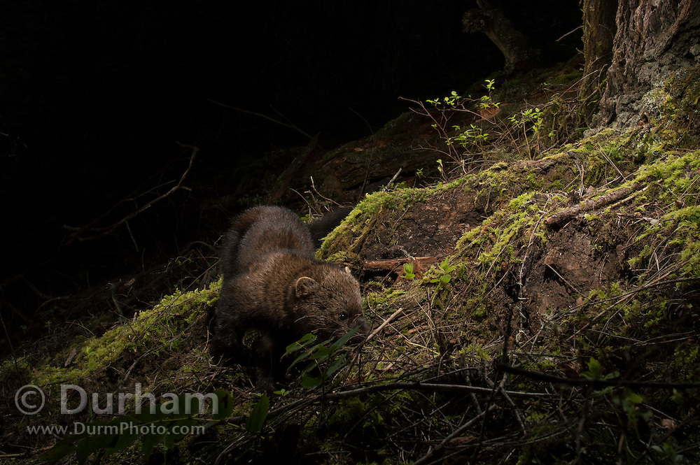 West coast fisher (Pekania pennanti) photographed in the Rogue River National Forest, Oregon.