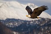 Bald Eagle in flight in Alaska