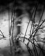 Small reeds poke out of the surface of a pond on Whitmoor Common, Surrey. Photograph by Andrew Tobin/Tobinators Ltd