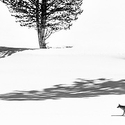 A coyote walks along the banks of the Yellowstone River in winter.