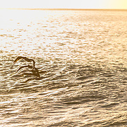 Pelicans surfing waves on the Sea of Cortez. Baja California Sur, Mexico.