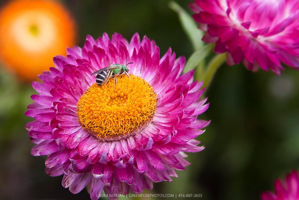 A metallic green sweat bee (Agapostemon) on pink strawflowers (Helichrysum monstrosum).