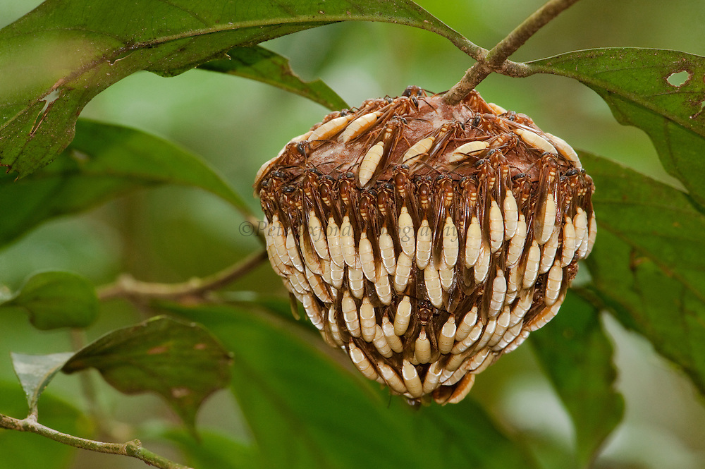 Parasol wasp nest & wasps (Apoica pallens)<br /> Clinging to nest ready to defend it.<br /> Rupununi<br /> Guyana<br /> South America