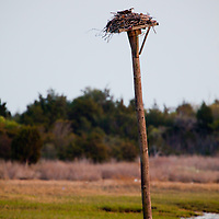 AM Osprey sit on top of a nesting box put up at Sandy Hook National Park New Jersey,