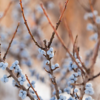 Botanicals: Shrubs