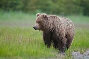 Alaskan brown bear in the rain