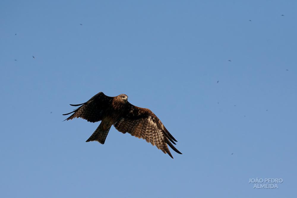 Black Kite flying over the ghats of Varanasi