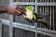 A chimpanzee holds her hand out to reach for some cabbage through the bars of her enclosure at the end of the day after she returned from the forest.    While the chimps forage all day in the forest, they food is supplemented at the sanctuary's feeding station. 03/15 Julia Cumes/IFAW