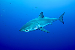 A Great White Shark, Carcharcarodon carcharius, cruises in clear, blue water at Guadalupe Island, Mexico, in the Pacific Ocean.