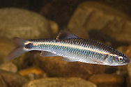 Alabama Shiner<br /> <br /> Bryce Gibson/Engbretson Underwater Photography