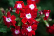 Red Verbena garden flower