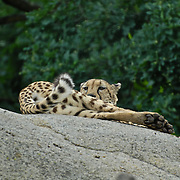 Cheetah chilling on a rock overlooking the scenery.