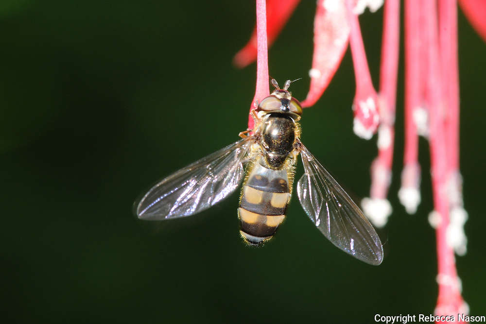 """Steven Falks: """"A large, long-winged relative of Melanostoma, with very distinctive abdominal markings in both sexes (which are patterned rather differently to one-another as in Melanostoma). This is a strongly migratory species that may be starting to overwinter in Britain judging by some recent spring records, but with the British population clearly reinforced by immigration. The adults are most typically encountered at woodland edge and in scrubby habitats. The larvae are predators of semi-gregarious micro-moths on shrubs and certain herbs."""""""