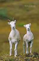 Dall's sheep ewe and lamb, Yukon Territory, Canada