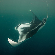 Leucistic oceanic manta ray (Manta birostris) barrel roll feeding on tropical krill in Honda Bay, Palawan, the Philippines