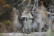 Male ruffed grouse drumming in habitat