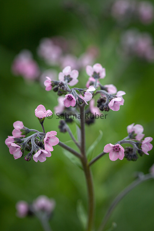 Cynoglossum amabile 'Mystery Rose' - Chinese forget-me-not