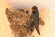 Barn Swallow (Hirundo rustica) near its nest, three young hatchlings with open mouths calling for food. A breeding pair of swallows builds a nest from mud and grass and lines it with feathers. The female lays a clutch of 3 to 7 eggs, which both parents incubate until they hatch between 13 to 15 days later. Both parents feed the chicks, which remain in the nest for about 20 days. Swallows usually raise two broods of chicks during the summer. Photographed in  Israel in Spring April